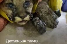 Детёныша пумы вытащили из лесного пожара